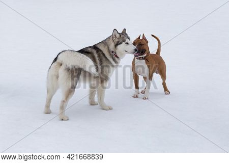 Siberian Husky And American Staffordshire Terrier Puppy Are Standing On A White Snow In The Winter P