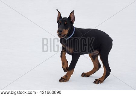 Cute Doberman Pinscher Puppy Is Standing On A White Snow In The Winter Park. Three Month Old. Pet An