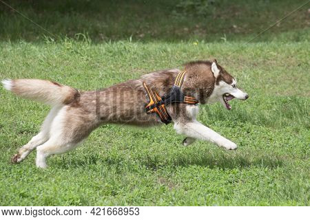 Red And White Siberian Husky Is Running On A Green Grass In The Summer Park. Pet Animals. Purebred D