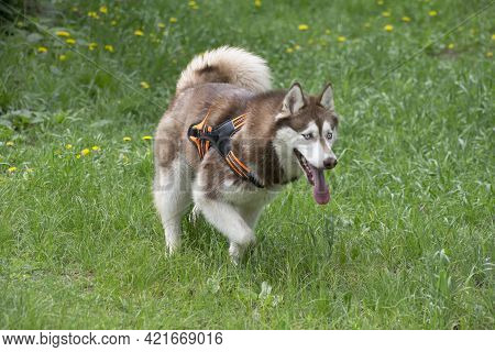 Cute Red And White Siberian Husky Is Walking On A Green Grass In The Summer Park. Pet Animals. Pureb