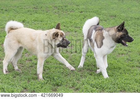 Two American Akita Puppies Are Playing On A Green Grass In The Summer Park. Pet Animals. Purebred Do