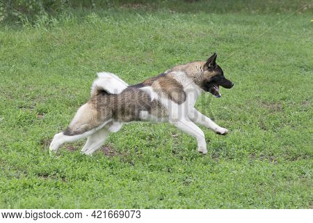 Cute American Akita Puppy Is Running On A Green Grass In The Summer Park. Pet Animals. Purebred Dog.