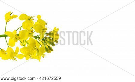 Rapeseed Flower. Yellow Rape Flowers For Healthy Food Oil On Field. Rapeseed Plant, Colza Canola For