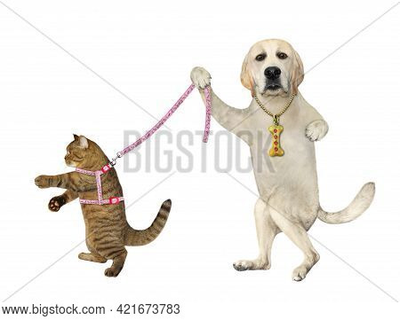 A Dog Labrador Holds Its Beige Cat On A Leash. White Background. Isolated.