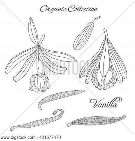 Vector Graphic Illustration With Vanilla Tropical Plant-01