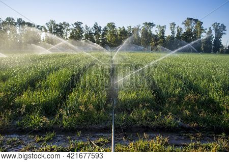Sprinklers At Work Under Sunset Sunrays At Onions Field. Agriculture Irrigation Concept