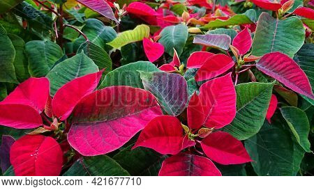 Poinsettia (also Know Euphorbia Pulcherrima). Is A Plant Species Of The Diverse Spurge Family (eupho