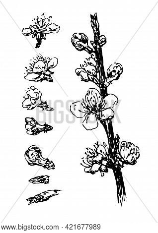 Vintage Sketch Vector Set Of Flowering Twigs And Buds And Flowers. Isolated Set Of A Branch Of A Flo