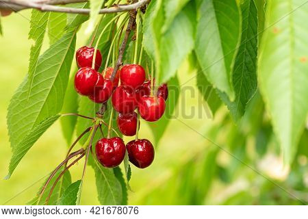 Ripe Red Sweet Cherry Berries Ripened On The Branch. Copy Space