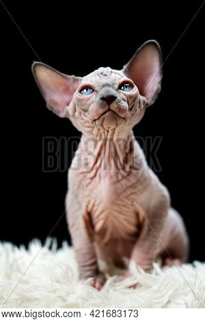 Portrait Of Canadian Sphynx Cat Kitten Sitting On White Carpet With Long Pile And Black Background.