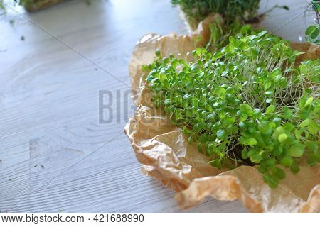 Microgreens Growing Background With Microgreen Sprouts On The Table. Seed Germination At Home. Vegan