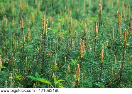 Green Small Pine Trees With Fresh Shoots In Spring Or Summer. Dense Thickets Of Stunted Pines With Y