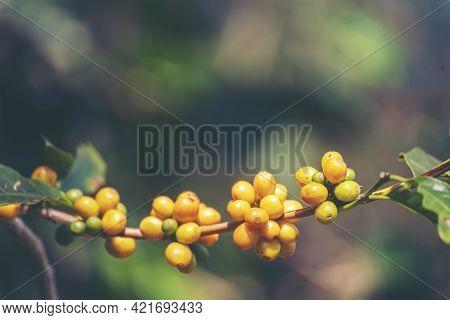 Yellow Coffee Bean Berry Plant Fresh Seed Coffee Tree Growth In Yellow Bourbon Eco Organic Farm. Clo
