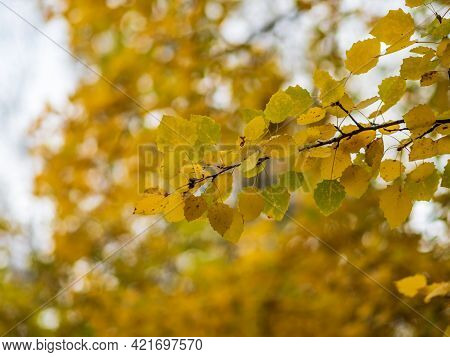 Aspen Branches With Yellow Leaves In Autumn Against. Bright Yellow And Orange Autumn Leaves Of Aspen