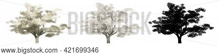 Set collection of Cherry trees, painted, natural and as a black silhouette on white background. Concept or conceptual 3d illustration for nature, ecology and conservation, strength, endurance, beauty