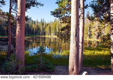 Picturesque quiet lake in a coniferous forest. Sunrise. The forests are reflected in the smooth water of the lake. The Tioga Road and Pass in Yosemite Park. USA. North America