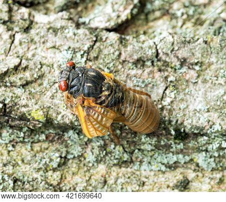 Newly Emerged Brood X Cicada with Folded Wing
