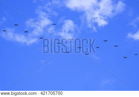 Flock Of Asian Openbill Storks Flying In Winding Row Against White Cloud And Blue Sky Background In