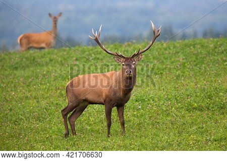 Red Deer Stag Staring From Clover Meadow With Hind In Background In Autumn