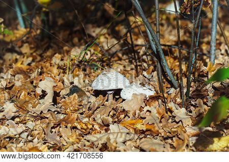 White Poisonous Inedible Mushroom Among The Dry Fallen Autumn Leaves In The Forest
