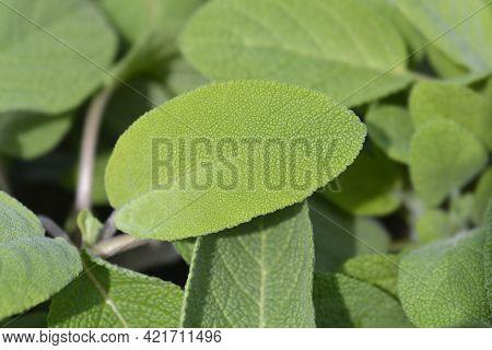 Sage Maxima Leaves - Latin Name - Salvia Officinalis Maxima