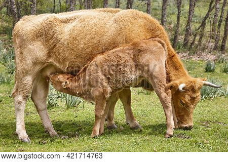 Unweaned Calf Suckling From His Mother. Bovine Cattle. Nursling