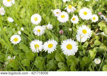 Bellis Annua, The Annual Daisy, Plant Species In The Genus Bellis. Beautiful Wild Daisy Flowers In T