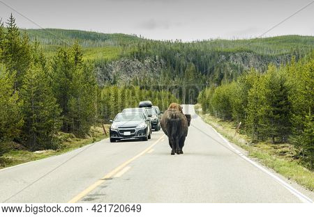 Buffalo on the road in Yellowstone National Park with people in the cars stopping and watching, Wyoming, USA