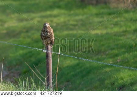 Common Buzzard, Buteo Buteo, Sits On A Fence Post In A Meadow In The Dutch Countryside. The Buzzard