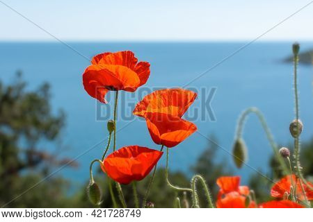 Poppies Red Close-up On The Background Of The Blue Sea. Beautiful Bright Spring Flowers. Atmospheric