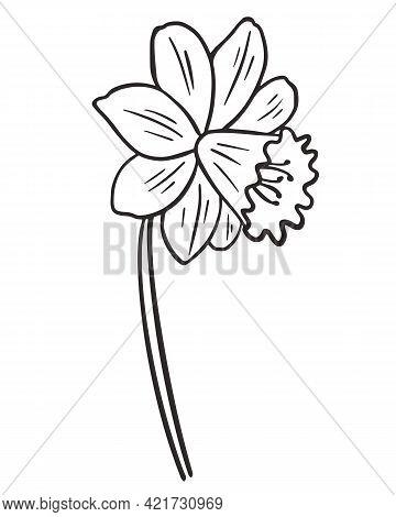 Daffodils Flower, Vector. Flower Contour. Simple Botanical Natural Element Narcissus. Line Art. Hand