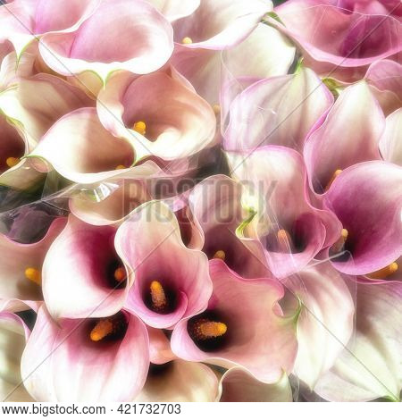 Dreamy style background of pink and white calla lily bouquets. This flower, Zantedeschia aethiopica, also known as the arum lily, originates from South Africa.