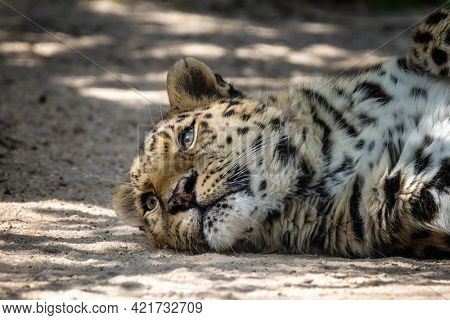 Adult Amur leopard, Panthera pardus orientalis, rests in dappled sunlight. One of the rarest wild cats in the world and critically endangered, with only around 100 cats left in the wild.