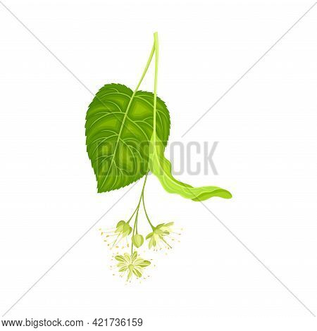 Tilia Specie Or Linden With Cluster Of Fragrant Yellowish-white Flowers And Green Cordate Leaf Vecto