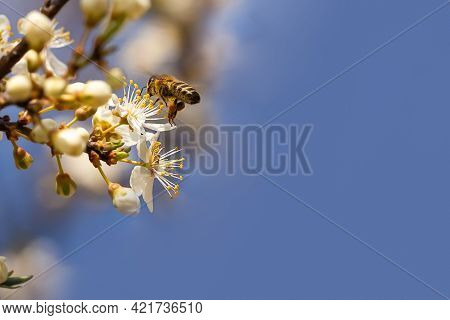 Honey Bee Collecting Pollen At White Flower. Bee Collecting Honey. Bee On White Flower In Blue Backg