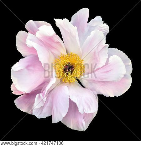 White And Pink Peony Flower Isolated On Black Background