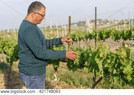 Elderly Farmer Checking Wine Grapes Growing In A Vineyard. Grape Vine With Green Leaves And Buds Blo