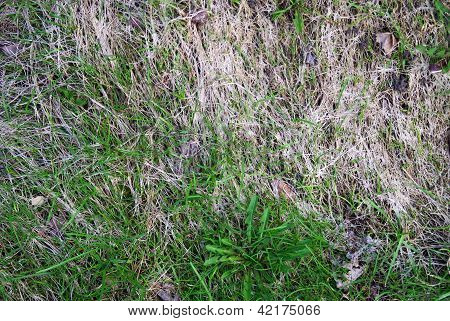 Young Grass Among Dry One In Spring