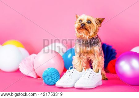 Dog Shoes. Yorkshire Terrier In Shoe. Cute Dog Wearing Clothes And Shoes