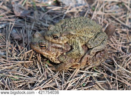 Two Toads During The Breeding Season Migrate Through The Territory Of The Coniferous Forest, Close-u