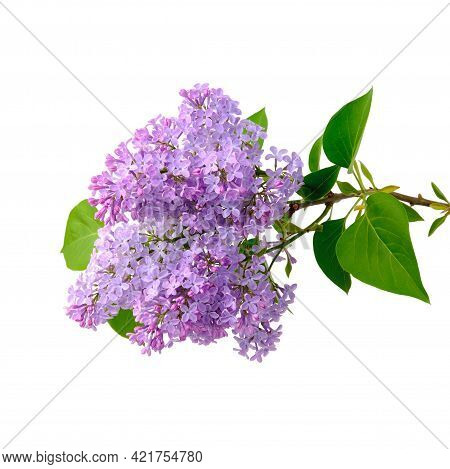 Blooming Branch Of Lilac With Many Small Flowers Holding On A Wooden Trunk Along With Green Leaves,