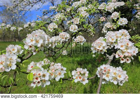 flowering branch of wild pear on a spring sunny day