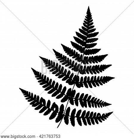 Beautiful Fern Leaf. Botanical Illustration. Black Isolated Image On A White Background