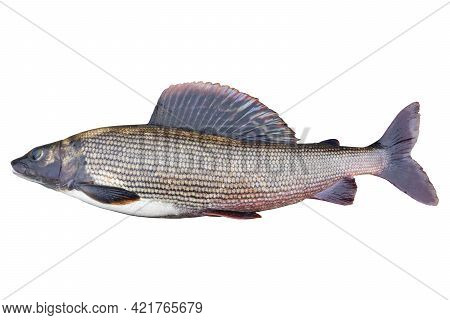 Arctic Grayling Fish Isolated On White Background. Freshwater Fish. Amazing Sport Grayling Fish Isol