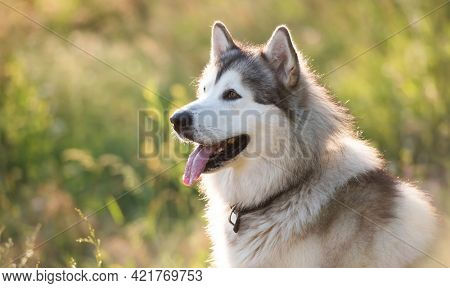 Adorable furry husky dog sitting calmy in the grass in field and looking back. Beautiful doggy with incredible eyes in summertime feels hot. Siberian breed pet and sunlight