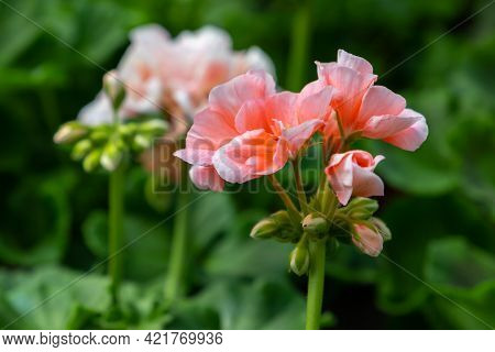 Decorative Pink Flowers, Macro Photo. Pelargonium Is A Genus Of Flowering Plants Commonly Known As G