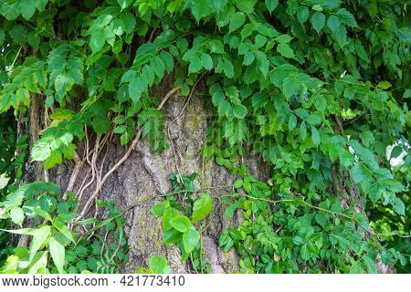 Lush Green Ferns And Vines Growing On A Closeup View Of Tree Truck Bark Stump With Bright Sunlight A
