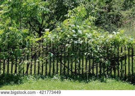 Lush Bright Sunny Green Vine Backyard Garden Plants Growing On Old Retro Vintage Wooden Picket Fence