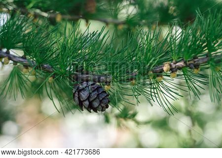 Branch Of Pine Tree With Needles And Pine Cone. Pine Tree Branch With Cones In Spring. Background Wi