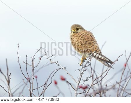 Close Up Of A Common Kestrel (falco Tinnunculus) Perched In A Tree, Uk.